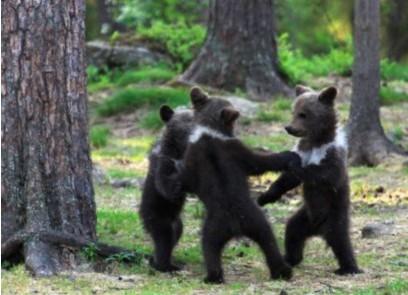 """芬兰熊宝宝""""手拉手""""大跳圆圈舞"""