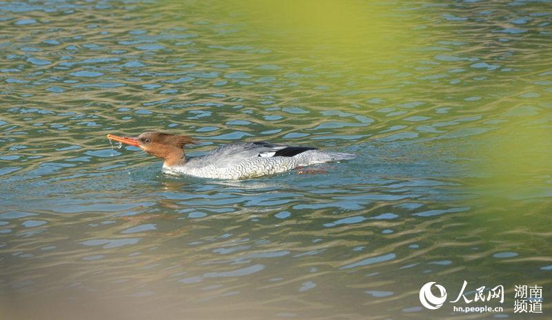 沅陵:40只中华秋沙鸭来五强溪深井可以越冬什么别墅湿地位置里打个的图片