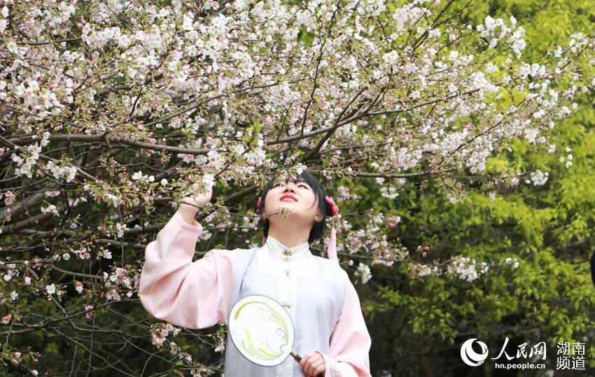 湖南省植物园千株樱花齐盛开 游人汇成海(组图)