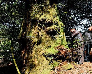 桂东发现甜槠树群落