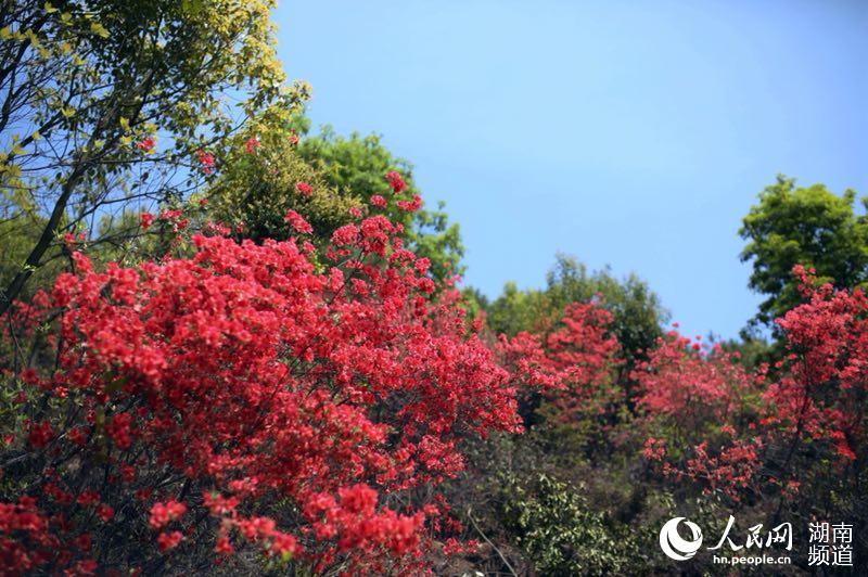 湖南衡南举行首届川口杜鹃花节