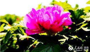 衡阳常宁:石缝里开出牡丹花