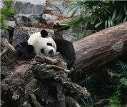 旅加大熊猫一家迁居卡尔加里