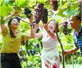 葡萄熟 采摘乐        7月16日,通道侗族自治县万佛山镇石壁村果园,游客在采摘葡萄。