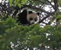 """野生大熊猫宝宝爬树倒挂        约7个月的大熊猫宝宝十分可爱,看树下来了""""观众"""",便""""表演""""起来:爬树、摇晃、倒挂……。"""
