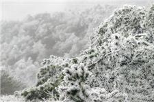 天台华顶国家森林公园迎首场雾凇
