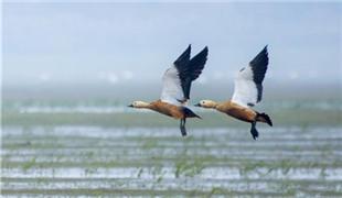 江西鄱阳湖:湿地成候鸟乐园