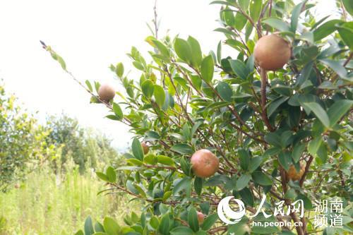 万亩油茶种植基地中,油茶果长势正旺。