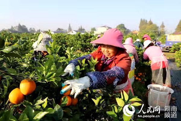 益阳大通湖:小脐橙带来脱贫大产业